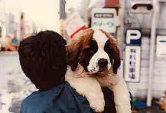 Resultado de imagen para 犬 saint bernard  逃げる